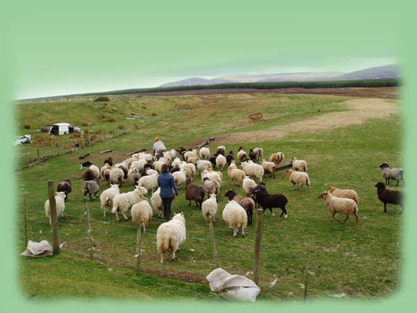 Sheep feeding at the Rhanich